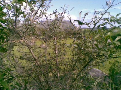 webber moth tree