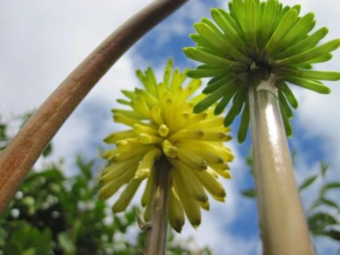 kniphofia