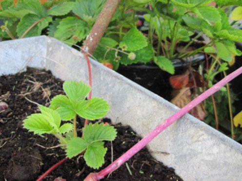 strawberry plant (5)