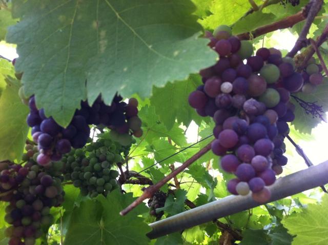 grapes ireland