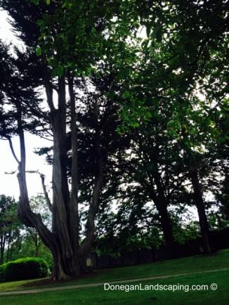 phoenix park trees (6)