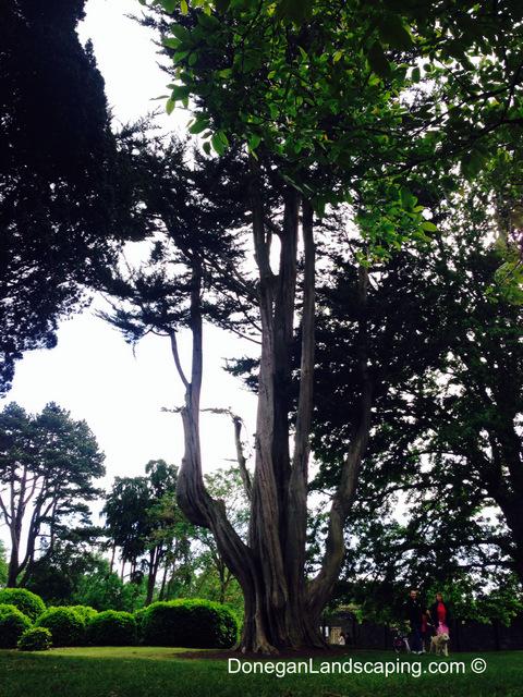 phoenix park trees (8)