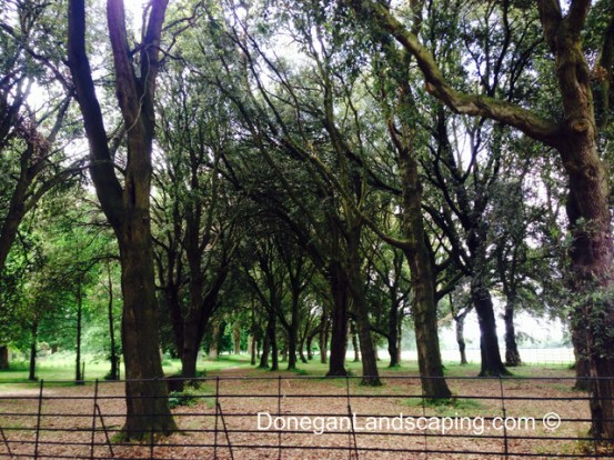 phoenix park trees (9)