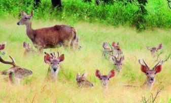 kawanan rusa sedang makan rumput