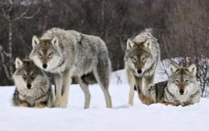 Cerita Hewan Singkat Serigala dan Anjing Penggembala