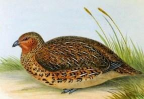 fabel cerita rakyat Burung Puyuh di ladang Umbi Merah