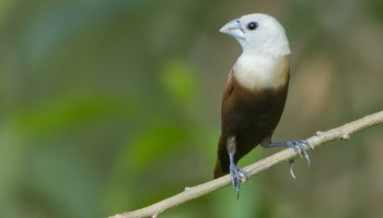 dongeng hewan burung pipit