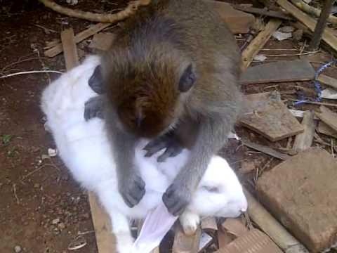 Cerita Hewan Lucu Fabel Monyet dan Kelinci