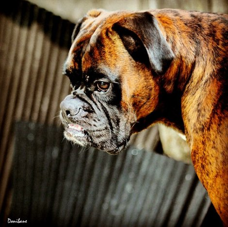 Hercules the dog by Donibane