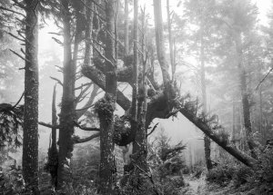 20141235D Trees,Fog, Cape Lookout, OR, 2014