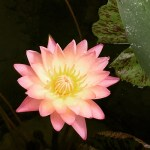 Pink and Yellow Pond Lily