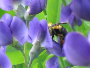 Bumble Bee on Blue False Indigo