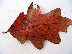 White Oak leaf
