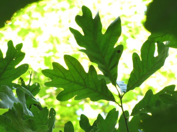 White Oak Tree leaves backlit by the Sun