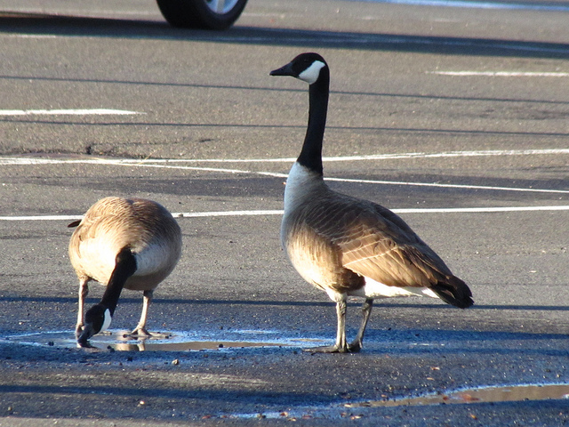 Canadian Geese in a parking lot