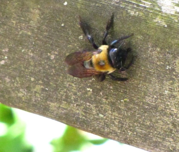 Carpenter Bee (Xylocopa virginia). Photo by Donna L. Long.