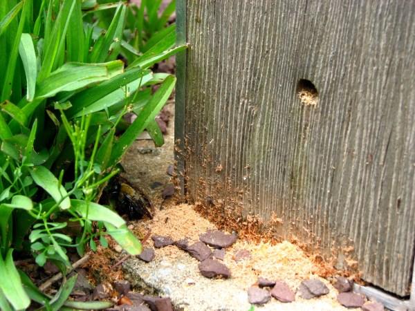 Carpenter Bee (Xylocopa virginia) hole.