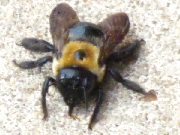 Eastern Carpenter Bee (Xylocopa virginia). Photo by Donna L. Long.