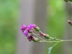 New York Ironweed (Vernonia noveboracensis). Photo by Donna L. Long.