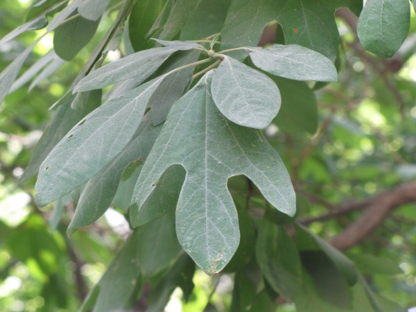 Sassafras albidum leaf