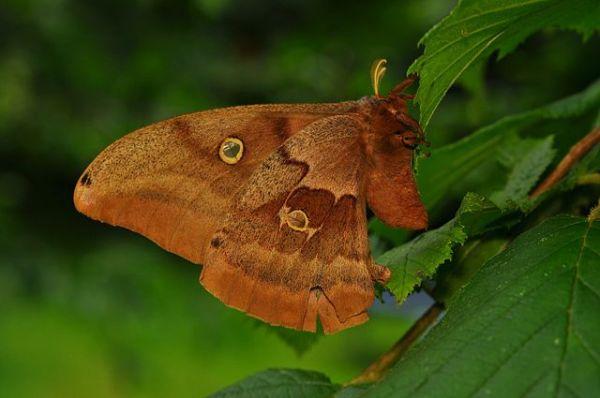 Polyphemus_Moth_(Antheraea_polyphemus).By The High Fin Sperm Whale, Wikimedia