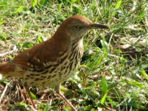 Brown Thrasher at Fort Washington State Park