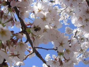 dogwood tree in spring (native plant)