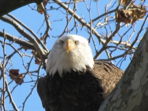 Bald Eagle (Haliaeetus leucocephalus). I wonder if this Eagle was looking directly at me as I took this photo.