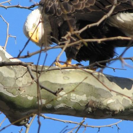 Bald eagle (Haliaeetus-leucocephalus) at Conwingo Dam in Pennsylvania. Photo by Donna L. Long