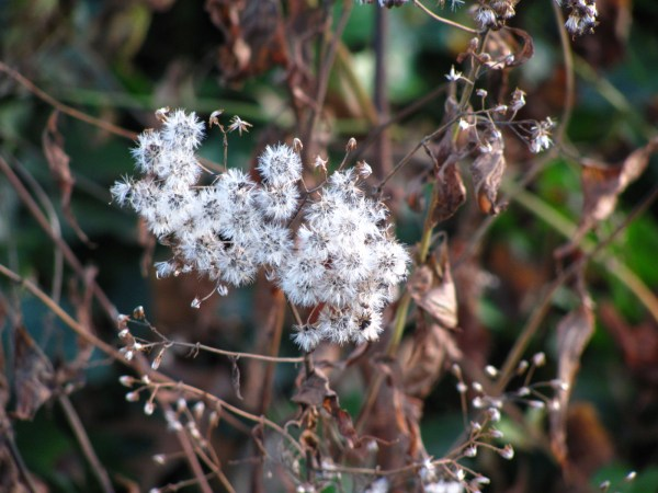 White Snakeroot (Ageratina altissima) gone to seed in my garden. Photo by Donna L. Long.