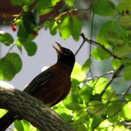 birds_singing male robin