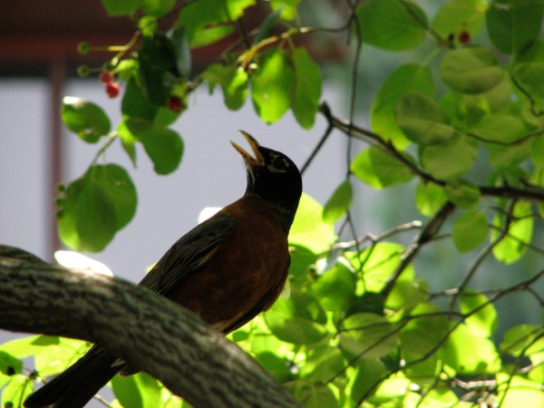 singing male Robin