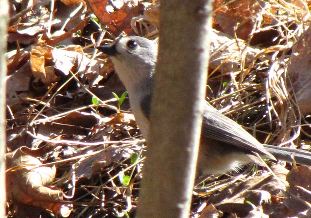 Tufted Titmouse in the underbrush at Tinicum NWR in Philadelphia