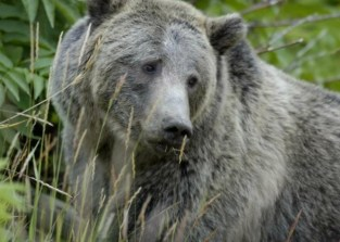 Grizzly Bear (Ursus arctos) in Yellowstone Park