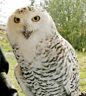Snowy Owl (courtesy USFWS)