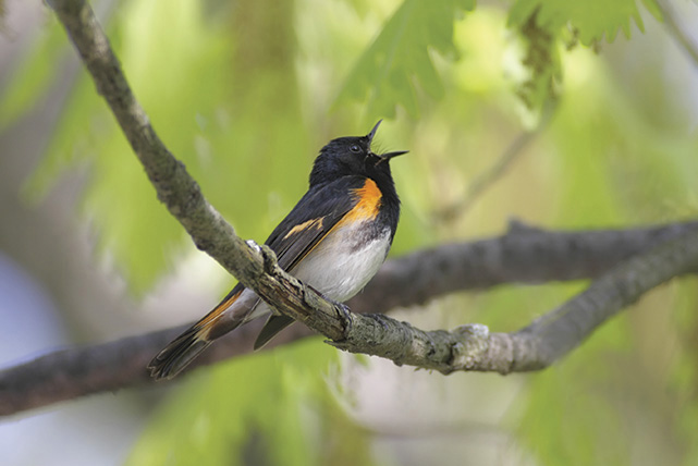 American Redstart (Setophaga ruticilla), male (Dover Publications)