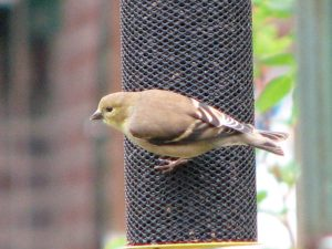 Male American Goldfinch visits my niger seed feeder.