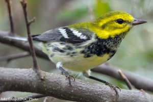 Black-Throated Green Warbler (Dendroica virens). Photo courtesy Jake Dingel/Pennsylvania Game Commission.
