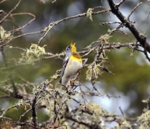 Northern Parula (Parula americana). Photo courtesy US Fish and Wildlife Service/Bill Thompson.
