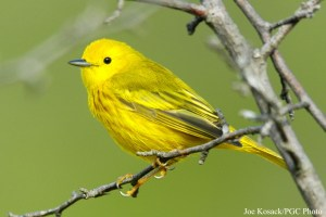 Yellow Warbler (Dendroica petechia). Photo courtesy Pennsylvania Game Commission/Joe Kosack.