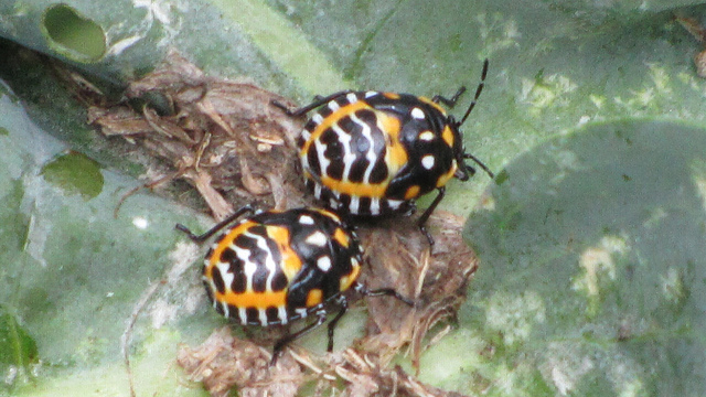 A pair of juvenile Harlequin Bugs (Murgantia histrionica)
