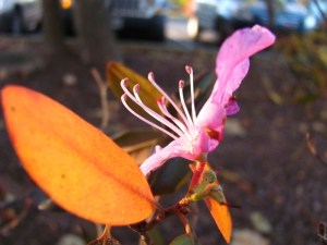 azalea stamens reaching toward the late afternoon sun