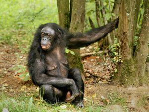 female Bonobo Chimpanzee © Hans Hillewaert / CC-BY-SA-3.0