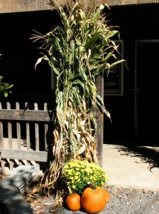 autumn cornstalks