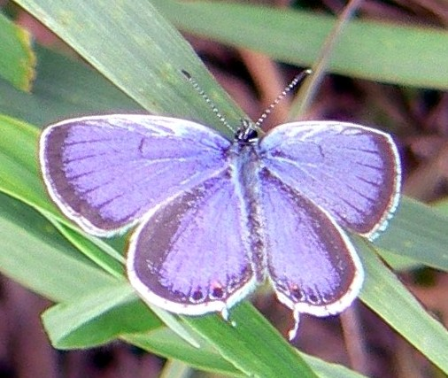 Eastern Tailed-Blue (Everes comyntas) - Lycaenidae Family. Photo from Wikimedia Public Domain.