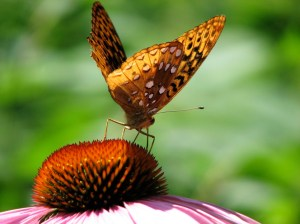 Great Spangled Fritillary on Echinacea purpurea