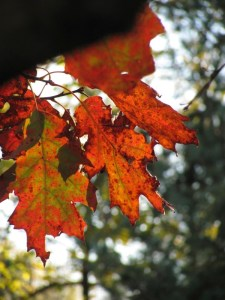 reddish oak leaves. Photo by Donna L. Long
