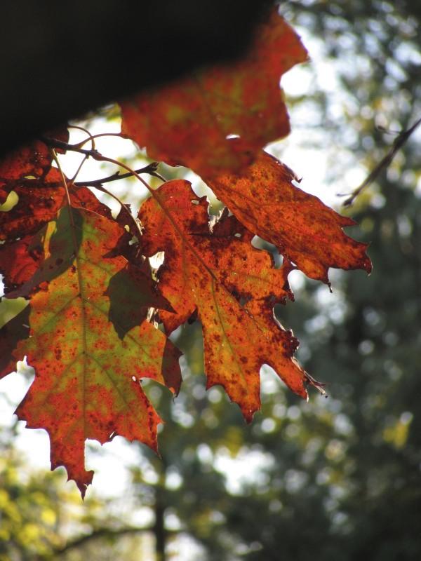 reddish oak leaves. Photo by Donna L. Long
