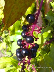 ripe pokeberries in autumn are a favorite bird food. Photo by Donna L. Long