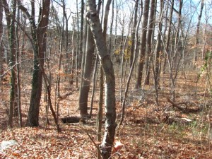 Young trees in a recovering forest (Wissahickon Valley Park). Photo by Donna L. Long.